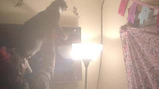 Family uses cat to catch bugs on ceiling