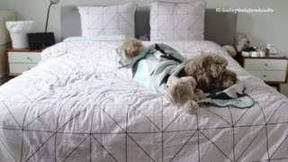 A brown poodles routine for bed