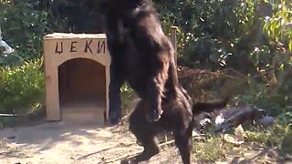 my black dog - Video