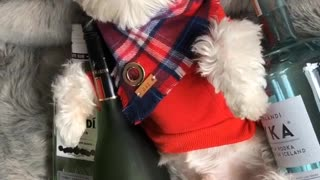 Music white dog in red vest surrounded by alcohol - Video
