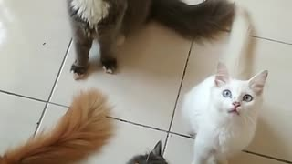 Group of Cat playing - Video