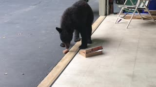 Bear Dines on Donuts