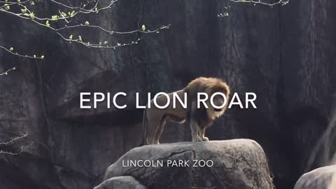 The Lion  Roar.( the most beautiful clip you have not seen before !!! )