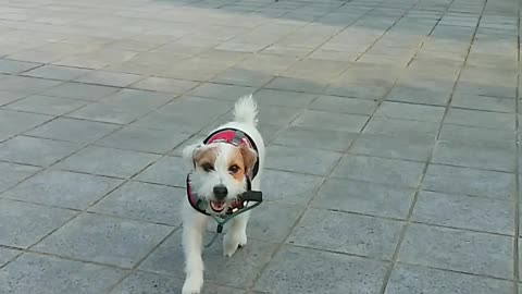 Clever Jack Russell, Get me a leash!