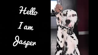 Dalmatian shows how to high-five and paw