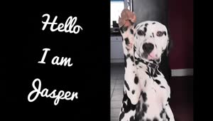 Dalmatian shows how to high-five and paw - Video