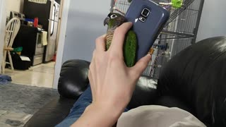 Parrot Seeking Attention Wiggles Between Phone and Hand