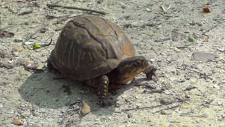 Free Box Turtle Stock Video Footage