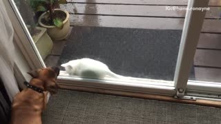 Brown dog tries to bit white cat through glass door - Video