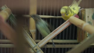 Listen and watch a very cool video of a group of parrots