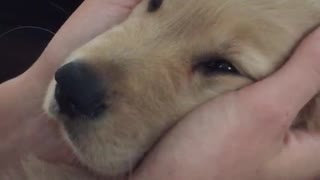 Brown dog getting face massage with tongue out