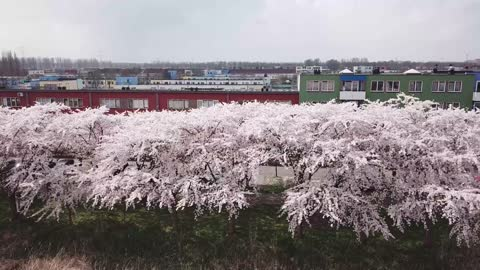 Drone Captures Stunning Cherry Blossom Trees In Netherlands