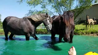 Funny Horses swimming in pond  - Video