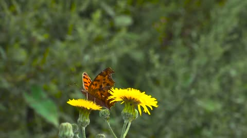 Butterfly is laying on flower
