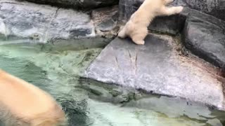 Polar Bear Cub Takes a Tumble