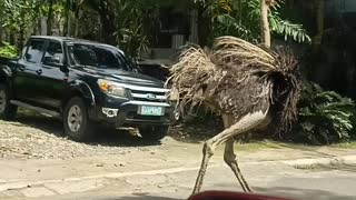 Strange Scenes as Ostrich Runs Down the Street
