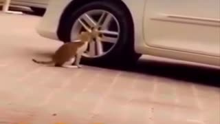 Watch your cats fear of the car alarm system