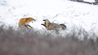 Fighting Foxes in the Snow - Video