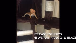 Bearded Dragon's playing on Cats tower, Best Idea Ever