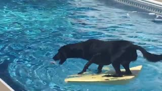 Talented dog balances on surfboard with ease