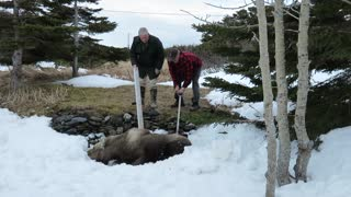 Moose Rescue - Video