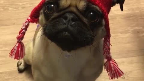 Pug wears hat that describes her perfectly