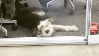 Hilarious Dog Is Persistently Pawing At An Office Window  - Video