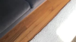 Gray pug hiding under sofa