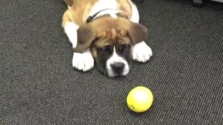Brown dog playing with lemon