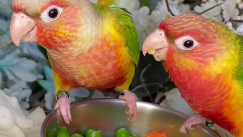 1/9/2021 Dominant red and high red pineapple green cheek conures