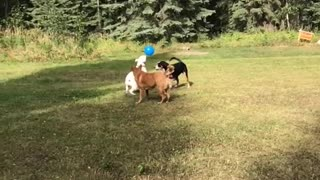 Dogs woods play balloon