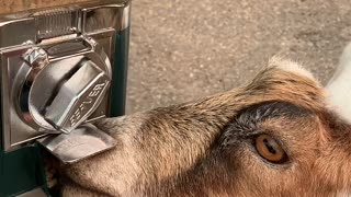 Smart Goat Turns Coin Mechanism for a Treat