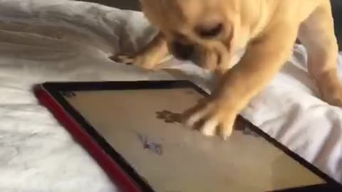 Frenchie puppy furiously plays tablet game