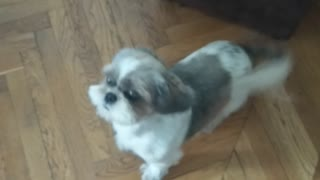 Happy shih tzu