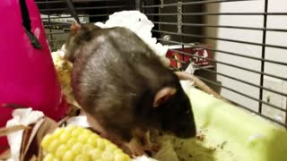 Polite Rat Wipes Face with Napkin - Video