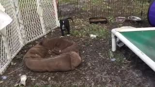 time lapse foster puppies  - Video