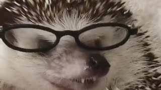 hedgehog with new glasses for fashion galery