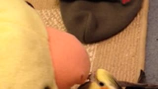 Cockatiel sings and dances with giant plush toy
