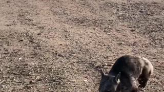 Wombat Chases Canine Friend