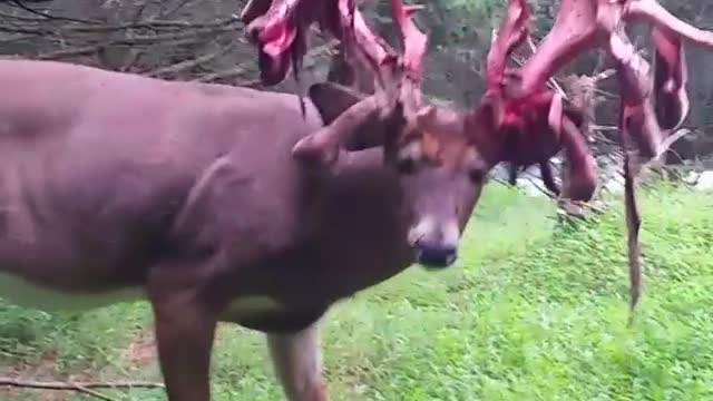 This Video Of A Buck Shedding His Antlers Is Remarkable - Video