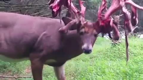 This Is How A Buck Sheds His Antlers