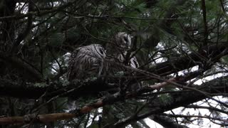 Barred Owls Put on Adorable Show of Affection