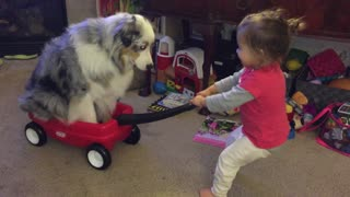 Giggling toddler pulls Australian Shepherd in toy wagon - Video