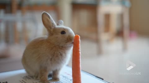 Adorable Bunny Munching On A Carrot