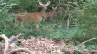 Mama deer with baby