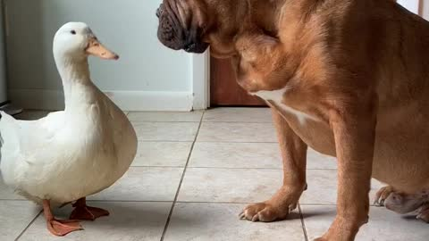 Nana George the Mastiff and Pam the Duck