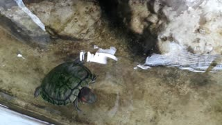 Red eared Turtle  - Video