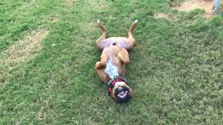Boxer Getting His Tan On  - Video