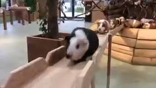 A line of guinea pigs approaching - Video