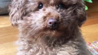 Tiny poodle adorably leans 'snoot boop' challenge